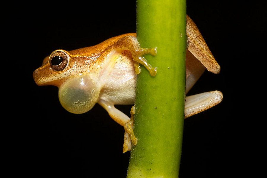 Frog at Night (Dendropsophus microcephalus)