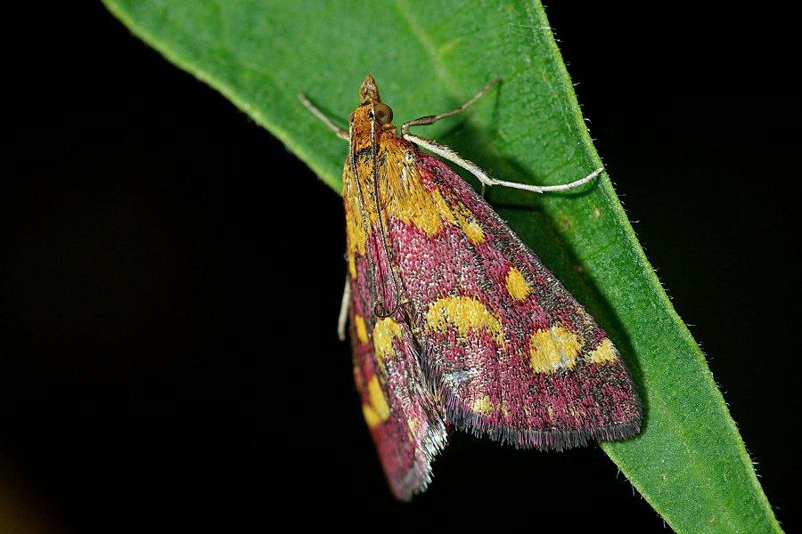 Moth at Night (Pyrausta purpuralis)