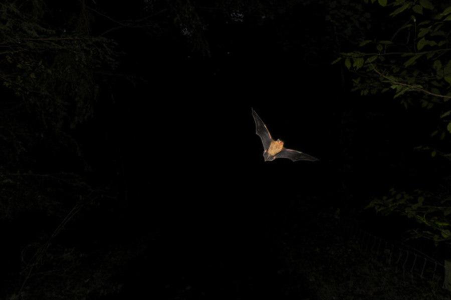 Bat at Night (Pipistrellus pipistrellus)