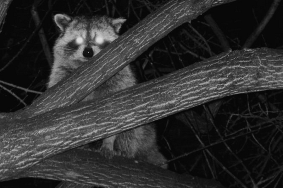 Raccoon at Night (Procyon lotor)